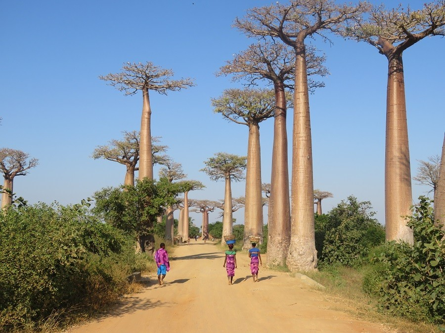 Local Hero Travel rondreis Madagascar baobab bomen