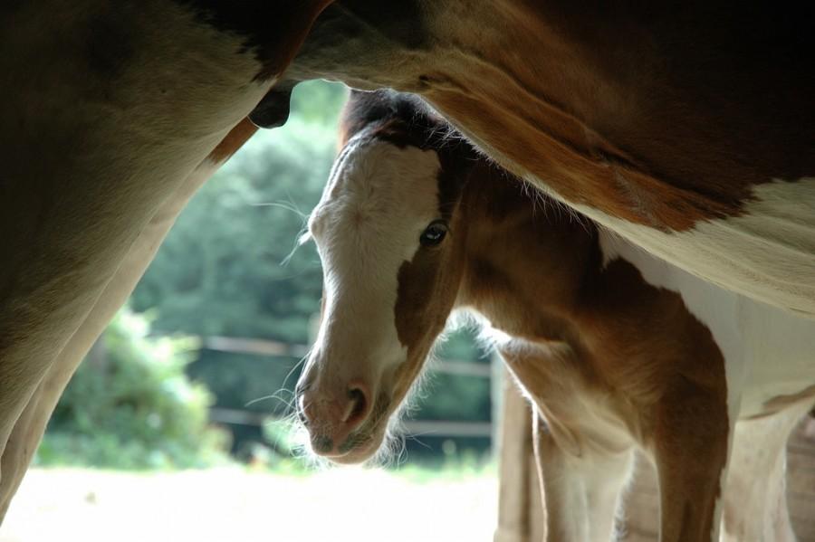 Morvan Rustique paard met veulen klein.jpg Morvan Rustique 40plusteens image gallery