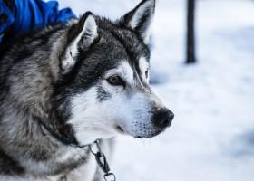 Travelnauts rondreis finland-lapland-sneeuw-husky-winter-hondenslee Familiereis winters Lapland 40plusteens