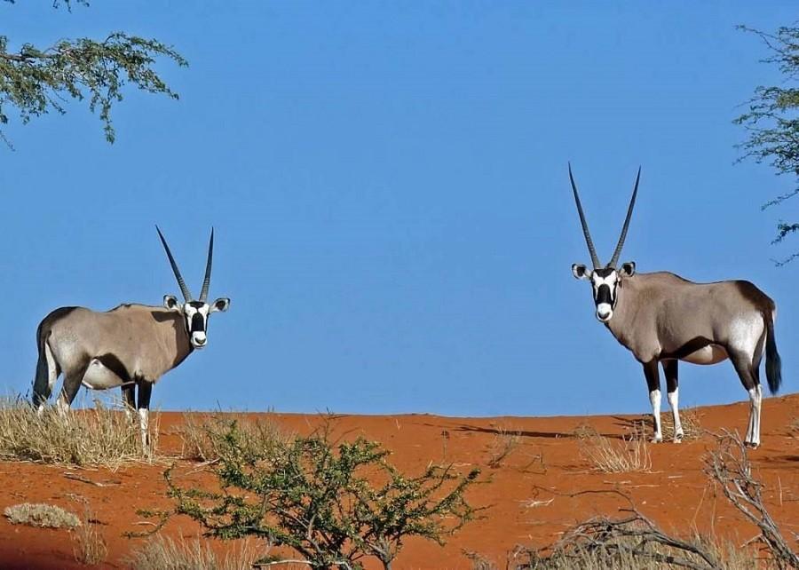 Local Hero Travel rondreis namibie-two-oryx-kalahari-desert Namibië rondreis familie avontuur 40plusteens image gallery